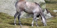 cheval-perles-Cuscionu