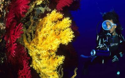 Colonie de corail noir, Corse du Sud