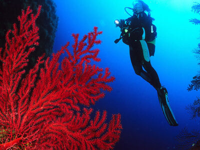 Gorgone rouge, Corse du Sud