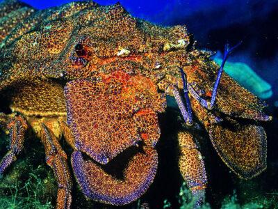 Grande cigale des mer, Corse du Sud