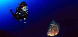 Mérou brun et plongeuse (photo © Georges Antoni)